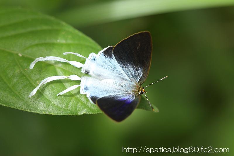 Hypolycaena amasa