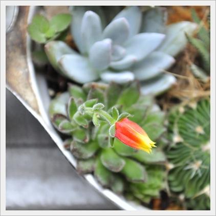 ハムシーのお花