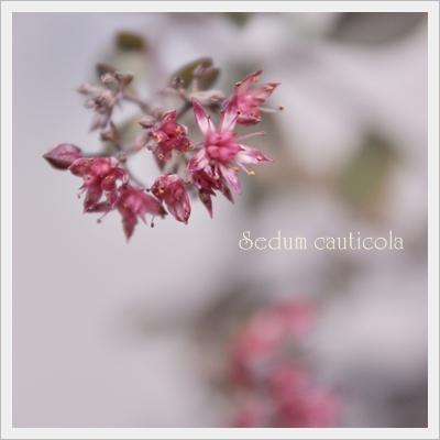 カラスミセバヤのお花