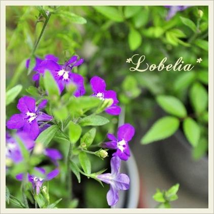 Lobelia.jpg