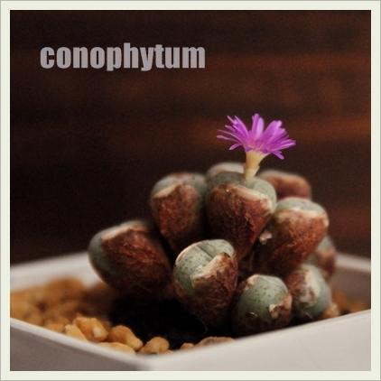 conophytum_20111015010424.jpg