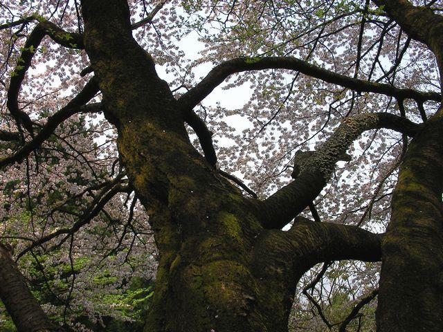 山桜201005