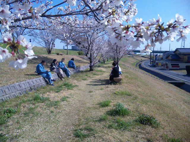 会社前 堤防の桜