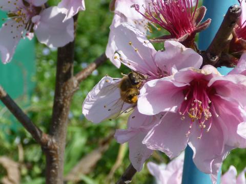 ミツバチです!