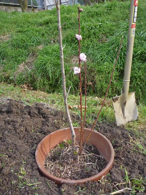 あかつき桃の復活