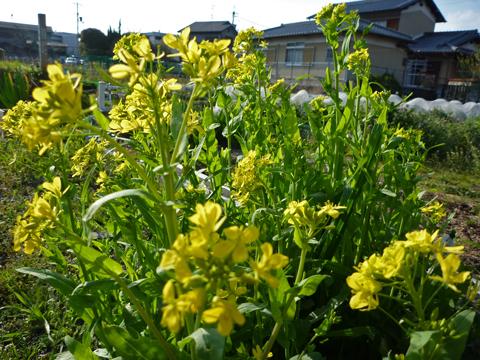 壬生菜の菜の花~