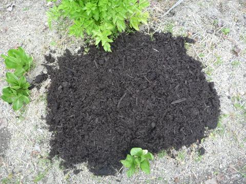 牛糞堆肥を土寄せ代わりに…