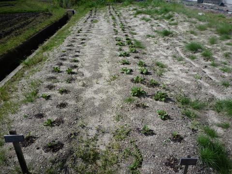 忍び寄る雑草