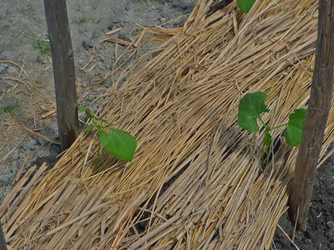 インゲン豆も植えました