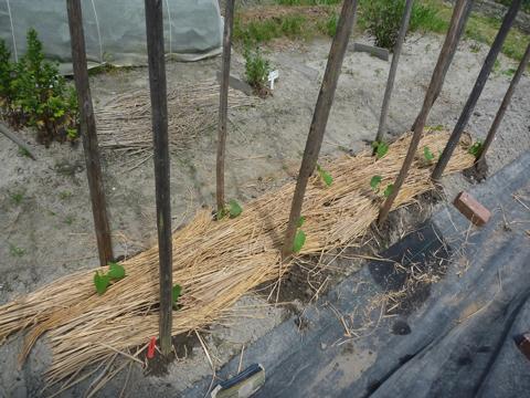 尺五寸菜豆