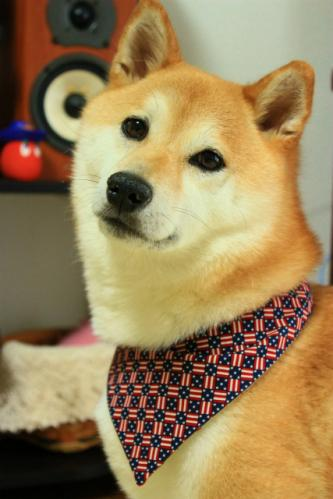 アメリカーンな柴犬