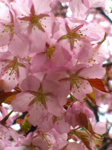 緑ヶ丘の桜