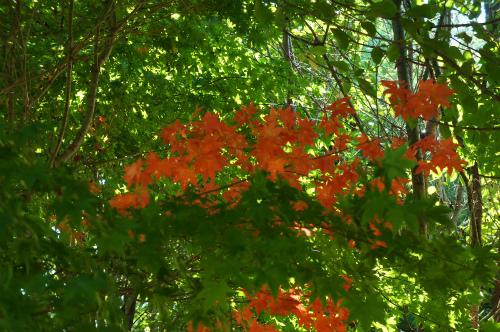 緑ヶ丘紅葉のはしり