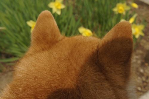 柴犬とスイセン