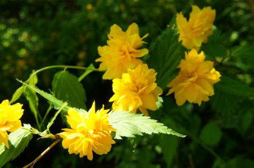 山吹の花!?