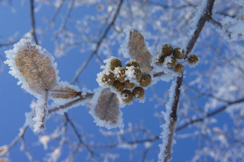 緑ヶ丘公園・霧氷