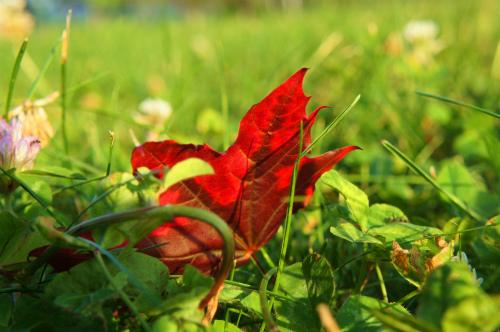 メイプルの落ち葉