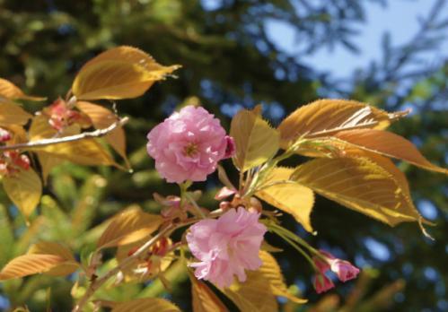 札幌の八重桜