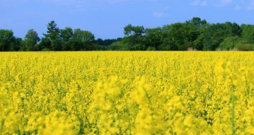音更菜の花畑