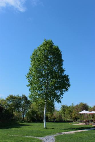 十勝ヒルズ白樺の木