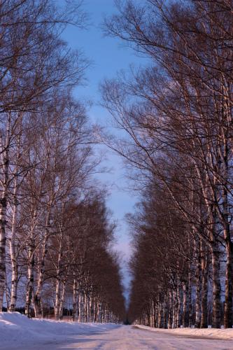 十勝牧場白樺並木