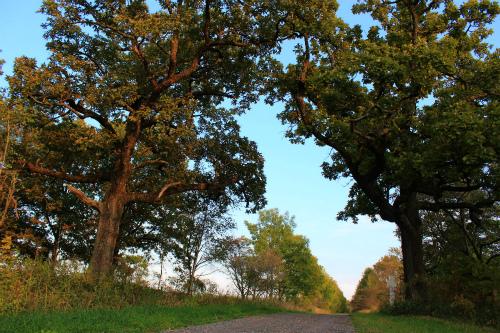 夫婦柏の木