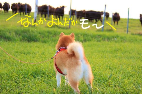 十勝牧場、牛さんの集団