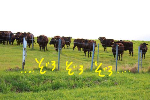 十勝牧場・牛さんゾロゾロ