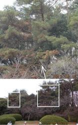 120310-pine.jpg