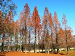 20111225万博観察会美しいメタセコイアとヌマスギの紅葉 (1)