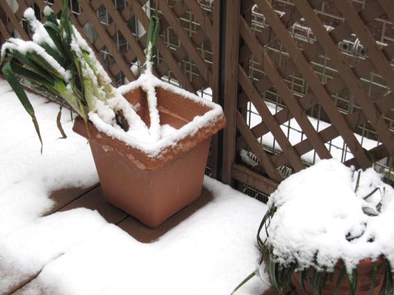 雪の日のネギ