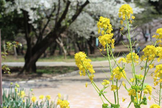 nanohana_20120413171732.jpg