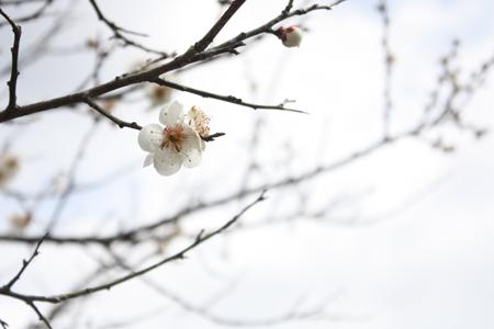 大船渡線そばの梅の花