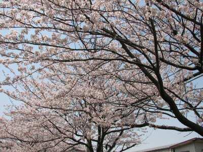 桜2011 001
