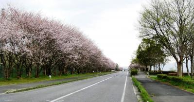 木浜町桜並木