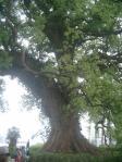 藤崎台のクスの木