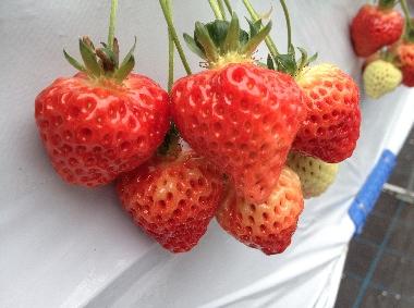 イチゴ033