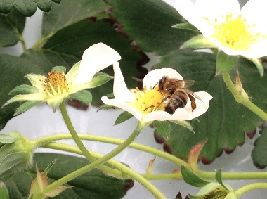 ミツバチ03