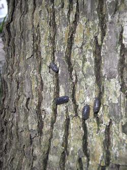 樹皮のダンゴムシ