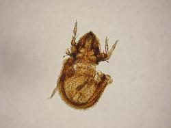 Carabodidae.jpg