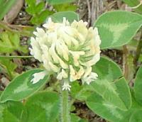 アカツメクサの白花