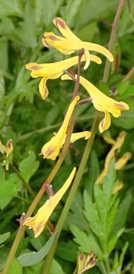 フウロケマンの花