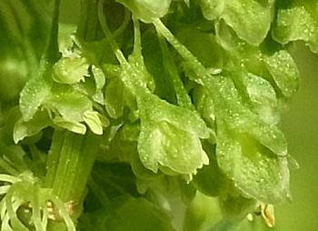 ギシギシの花