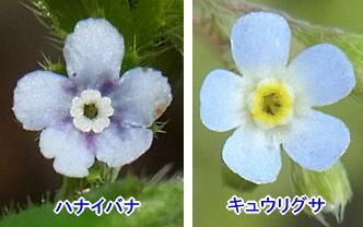 ハナイバナとキュウリグサの花の比較