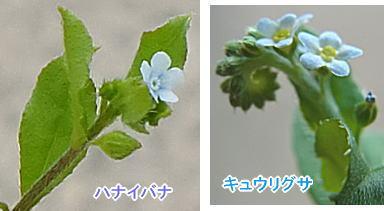 ハナイバナとキュウリグサの花序の比較