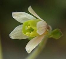 ヒメウズの花