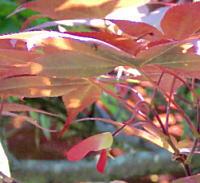 イロハモミジの種子