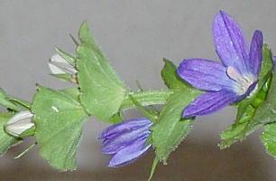 キキョウソウの花