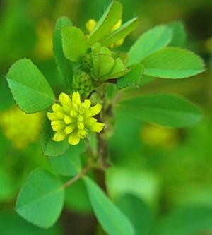 コメツブツメクサの花
