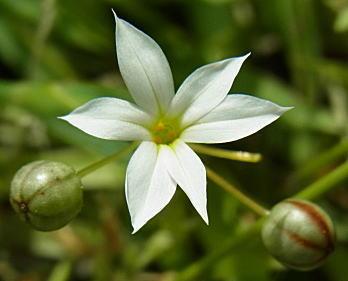 純白花のオオニワゼキショウ?